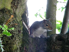 Squirrel ~ Scratch2 ~ the movie ! LOL :-) (simball) Tags: uk wild england bird simon birds forest canon garden video zoom action wildlife avi british worcestershire videos knott wyre kidderminster simbird