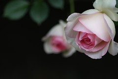 (amaoto) Tags: rose 100mm inmygarden pierrederonsard 40d