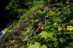 小さな滝の側のオオバミゾホオズキ