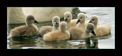 Seven Signets (~EvidencE~) Tags: toronto cute nature swan nikon soft fluffy lakeontario evidence signets ashbridgesbay d80 location~ashbridgesbay