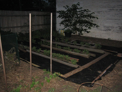 Potatoes and pole beans in the dark