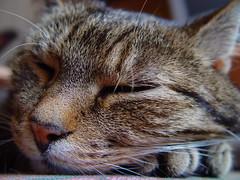 ...dreaming... (sven.dressler) Tags: sleeping closeup cat sony dreaming dscf707 abigfave abigfav bestofcats impressedbeauty boc0807 babchen