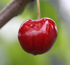 The First Cherry (michaelmatusinec) Tags: wisconsin sideyard digitalcameraclub summer2008 firstcheery digitalcamerclub