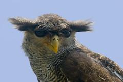 a view ö_ö  to a kill... (carolsgirl1966) Tags: tufts southchinasea 80200mmf28d tc17eii inindonesia tôôt shootingwithd200 inbatubulan onbali barredeagleowl bubosumatranus bubosumatrana malayeagleowl orientaleagleowl beaksandfeathers