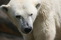 zoo 004 (Azrael22) Tags: animals zoo bears polar