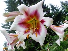 Lilium Seedling 6-08a