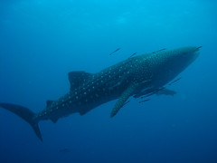 Highlight of the weekend (and my first ever sighting)... WHALE SHARK!