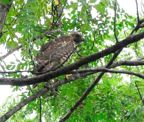 Hawk Try 2