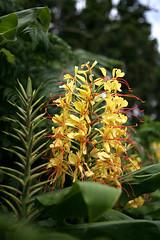 Pico flora - Ginger Lily (ernst schade) Tags: de do watching hunting jorge pico whale whales so prainha azores lajes whalers faial calheta cabeo ribeiras nesquim silvadas