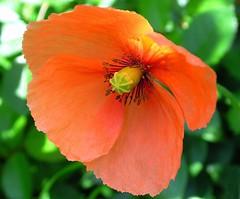 poppy (✿ Graça Vargas ✿) Tags: orange flower poppy papoula papaverorientale graçavargas ©2008graçavargasallrightsreserved 11611130809