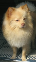 apprehensive bear (kelaltieri) Tags: bear dog puppy tan cream nervous pomeranian spitz apprehensive germanspitz kleinspitz