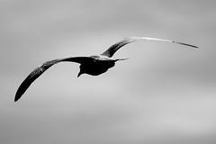 Slowly (Jsome1) Tags: bird fly zoom gull air slowly 2008 aplusphoto krishlikesit