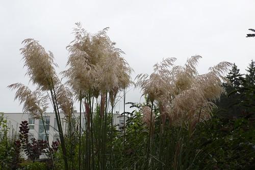 Wet Pampas grass