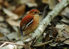 Blue-headed Pitta (female) Pitta baudii (GARY ALBERT NATUREPIX) Tags: birds borneo endemic pitta blueribbonwinner guideborneo sepilokforestreserve vosplusbellesphotos pittabaudii blueheadedpitta