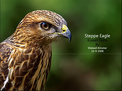 Steppe Eagle   (Waleed Almotar) Tags: green bird up birds fly close eagle wildlife sigma olympus apo 50500 kuwait e3 500mm waleed dg doha oly evolt     steepe hsm    almotar      alittlebeauty