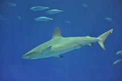 Monterey Bay Aquarium's new Baby Shark