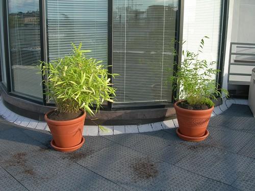 2008-09-21 Bamboo