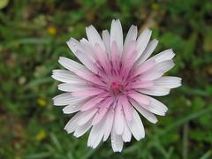 My buddy icon... (Catherine_S1) Tags: flower macro tiny flickrdiamond wonderfulworldofflowers flickrlovers flickrflorescloseupmacros naturescreations