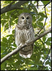 Barred Owl ([] StephsShots) Tags: county mine south indiana clay owl chinook barred thewonderfulworldofbirds