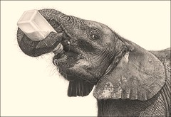 'Bottle Fed' - African Elephants - Fine Art Pencil Drawings  www.drawntonature.co.uk (kjhayler) Tags: pictures africa wild portrait baby elephant art pencil portraits painting photo artwork photos drawing african paintings young picture drawings bull bulls naturalhistory hide trunk elephants trunks calf herd jumbo herds africanelephant africanelephants biggame animalart bigfive wildanimals jumbos animalprints hides pencildrawings wildlifeimages drawingpictures animalpictures wildlifeart herdofelephants wildlifephotography wildlifephotos animalphotos elephantart elephanttrunks animaldrawings wildlifeartists naturepictures theelephant wildelephants elephantpictures wildlifeportraits wildpictures animalspictures openedition elephantpicture bullelephants picturesofelephants elephantphotos wildlifeartist wildlifedrawings drawingphotographs kevinhayler photosofelephants herdsofelephants elephantherds pictureselephants photoselephants elephantphoto daphnesheldrick