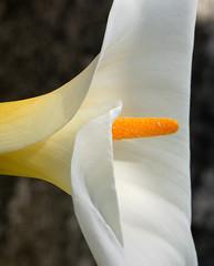 In Full Bloom (_setev) Tags: newzealand white flower home garden season spring lily stephen bloom otago dunedin murphy downunder setev downunderphotos stephenmurphy excapture