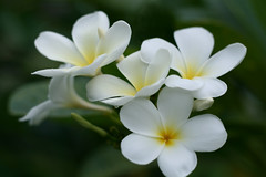 Flowers / Plumeria (papaija2008) Tags: travel flowers flower nature digital canon thailand eos rebel asia plumeria south east tamron breathtaking excellence kukkia 2875mm thaimaa xti 400d naturewatcher platinumheartaward earthasia wonderfulworldofflowers breathtakinggoldaward awesomeblossoms 4timesasnice 6timesasnice 5timesasnice 7timesasnice