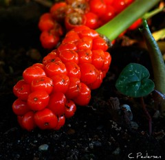 red1 (C. Pedersen) Tags: red 3 garden botanical juicy berry berries post vibrant ubc seeds fallen encarnado 1comment