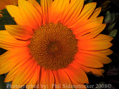 Sunflower Close up (phil_sidenstricker) Tags: flower nature floral beautiful botanical naturallight sunflower donotcopy valleyofthesunphoenixmetro upcoming:event=981998 southmountainfarmphoenixazusa