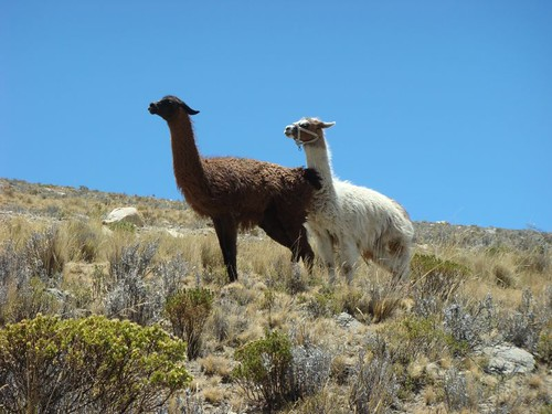 Llamas (nearly) having sex. Near Copacabana, Bolivia.