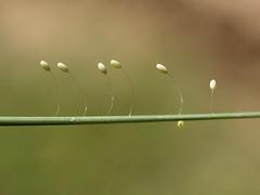 Ous de Chrysopidae - Huevos de Chrysopidae (by fturmogtream)