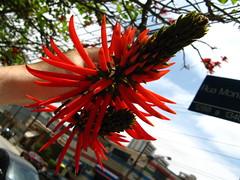 Suinã- Mulungu do litoral - Árvore candelabro - Candelar tree flower (Erythrina speciosa) Sao Paulo Brazil. A brazilian native (mauroguanandi) Tags: brazil flora do elsalvador erythrina fabaceae litoral erythrinaspeciosa imagesofelsalvador elpulgarcitodeamerica excellentsflowers natureselegantshots natureelegantshots flordepito mimamorflores flickrcloseupmacros suinãmulungu árvorecandelabro candelartree