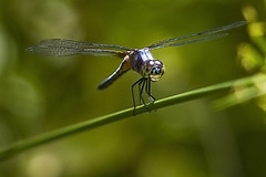 Face to Face.... (khalidonmove) Tags: macro fly dragon khalid fpc 100mmf28 khalidonmove