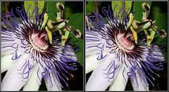 """Passiflora """"Marie"""" (Parallel Stereoview) (Mike Bittner) Tags: marie stereoview passiflora parallel"""