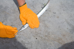 Needlefish (IrishNYC) Tags: bridge keys pier blog fishing florida stupid tropical reef bastard drift needlefish agujon strongylurasp