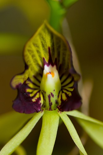 AOS Orchid7