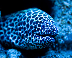 Laced Moray Eel (julesnene) Tags: sanfrancisco california aquarium marine morayeel gettyimages californiaacademyofsciences gettyimage julesene lacedmorayeel