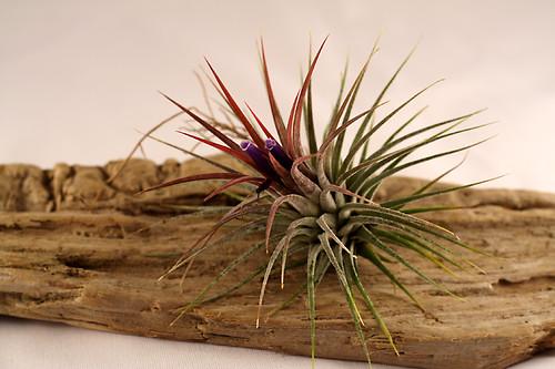 氣生植物:半紅 (by Audiofan)