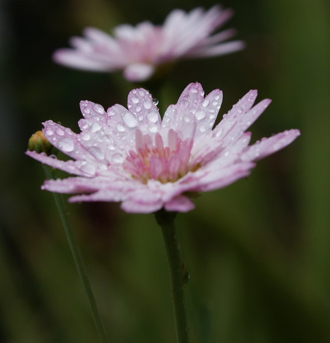 Pink Flower, Water Droplets - by Michael Scott