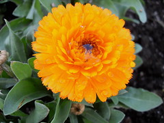 orange2 (laughingoysterbabies popping in and out ~**) Tags: orange flower droplets