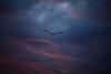 Eternity (segamatic) Tags: sunset bird del marina canon eos seagull flight rey bigmomma canonef70200mmf4lisusm photofaceoffwinner pfogold 5dmarkii tmoacawardwinner 5dmkii