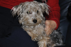 Mollie (Diacritical) Tags: dogs puppies flash millie yorkiepoo d90 2470mmf28