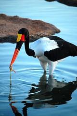 Bioparc (JulioGonzalez1) Tags: bird zoo ave pfogold pfosilver