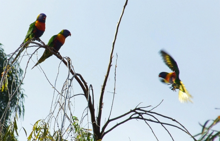 flash lorikeet