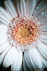 Arty farty Gerbera (Tracey Hill photography) Tags: flower macro nature floral canon gerbera 40d