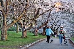 Spring is A Beautiful Thing (~EvidencE~) Tags: pink blue ontario bike cherry nikon highpark ride walk ps bloom evidence 2009 hdr cherrytrees d300 photomatix nikoncapture 9exp location~highpark visionqualitygroup nicetoseeyougabi