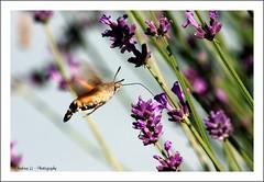 Taubenschwänzchen / hummingbird hawkmoth (Macroglossum stellatarum) - Lavendel - lavender (Lavandula angustifolia) (wnd.andreas) Tags: macro nature butterfly lavender insects lavendel hummingbirdhawkmoth macroglossumstellatarum taubenschwänzchen canonef70300mmf456isusm lavandulaangustifolia aplusphoto canon40d vanagram