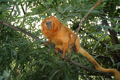 """tamarin 1 • <a style=""""font-size:0.8em;"""" href=""""http://www.flickr.com/photos/49635346@N02/4557265461/"""" target=""""_blank"""">View on Flickr</a>"""