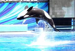 Nalani (CetusCetus) Tags: world show park sea back orlando florida believe killer bow whale fl orca seaworld shamu backflip nalani