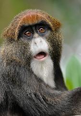 De Brazzas Monkey 3/3