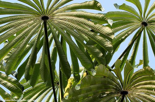 africa trees drcongo umbrellatree urticaceae cecropiaceae musangacecropioides africancorkwood boyekoliebale